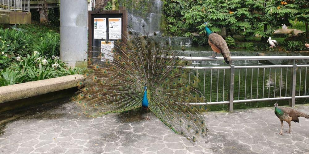 peacocks at kl bird park