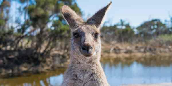 kangaroo looking at us