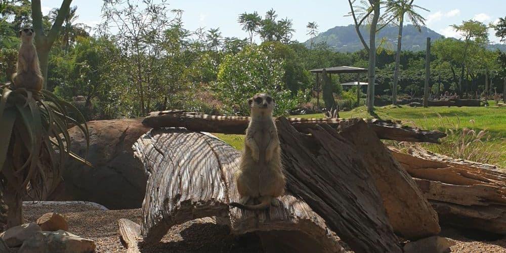 meerkat safari australia zoo
