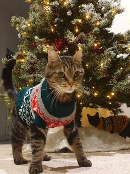 my cats wearing their jumper in front of our christmas tree