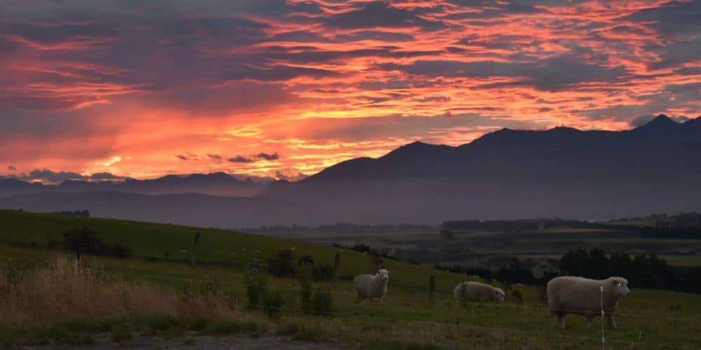 sunset at te anau with sheep